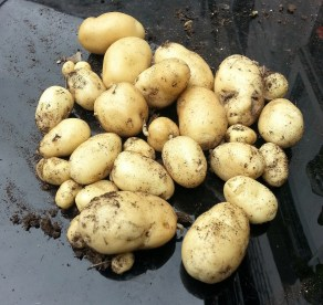 Maris Bard potatoes