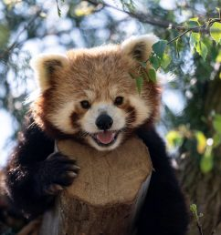 red panda peter marwell zoo [ 1200 x 800 Pixel ]