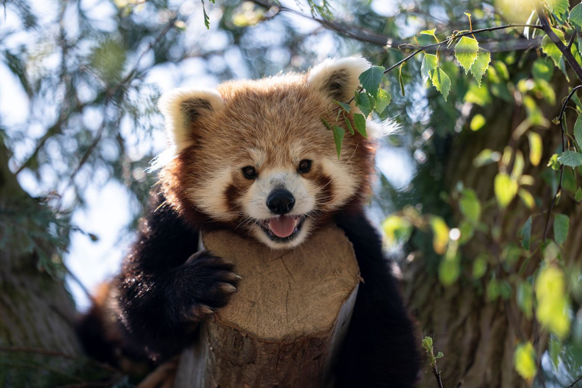 hight resolution of red panda peter marwell zoo