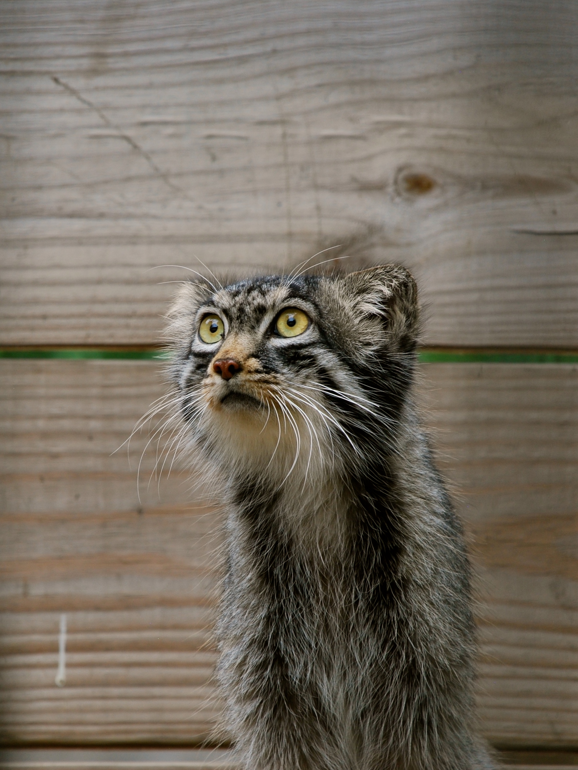 The Red River Zoo welcomes new Pallas Cat from Japan