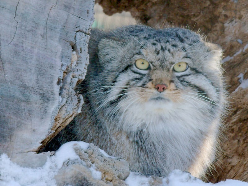 Pallas Cat Red River Zoo Fargo ND
