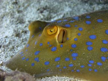 RSDC Blue Spotted Ray