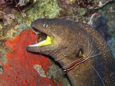 RSDC Yellow Mouth Eel