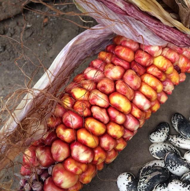 Maíz Suave de Colores organico agroecologia permacultura ecuador