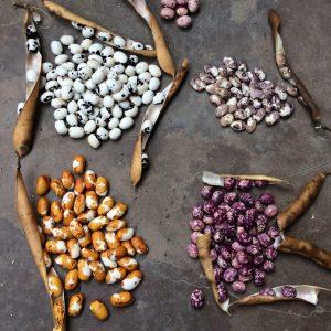 red de guardianes de semillas ecuador semillas organicas venta