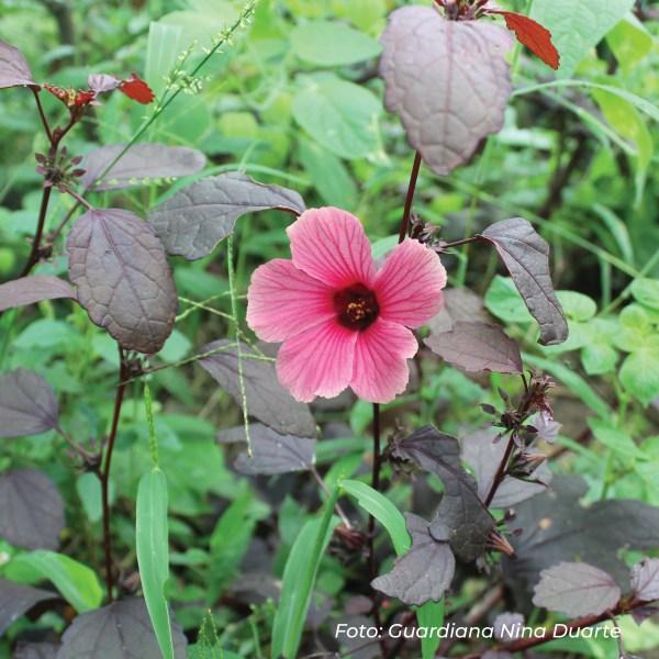 falsa-jamaica-2 red de guardianes de semillas ecuador