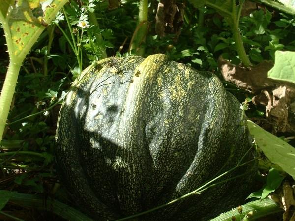 zapallo castellano Red Guardianes de semillas Ecuador
