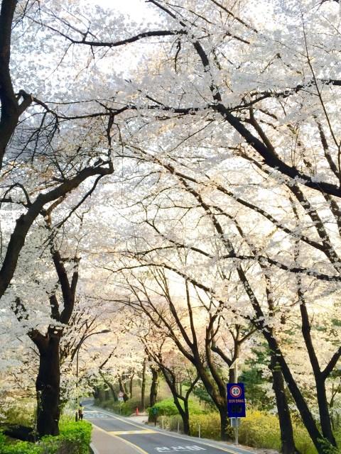 【韓國.春】櫻花情報、賞櫻景點與開花預測參考『搶先看懶人包』