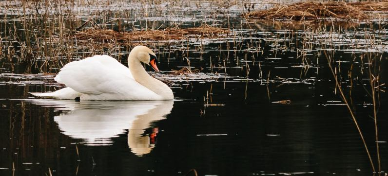 redshooters-2013-2014-nature-cygne 2 sur 1