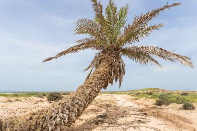 Espingueira Palm Tree
