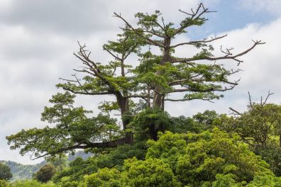 Majestic Tree de Caiada