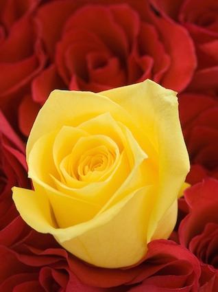 Yellow rose on bed of red roses