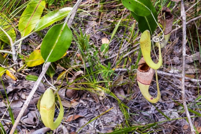 bako pitcher plants