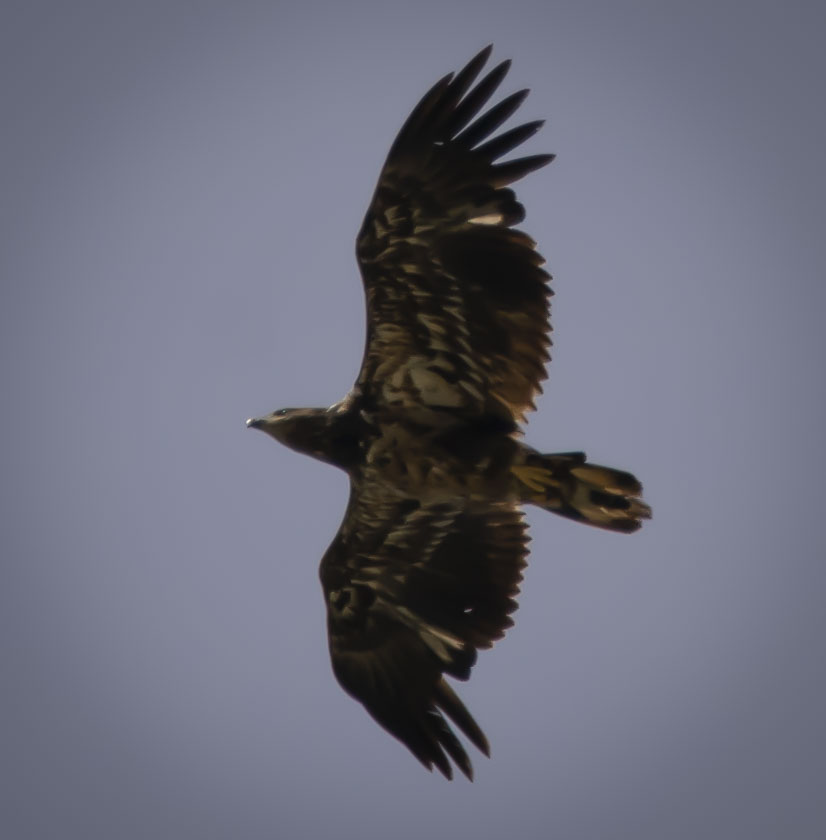 Juvenile and Nesting Bald Eagles, Plus Other Area Wildlife
