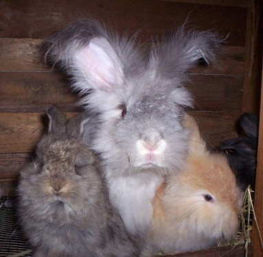 Angora rabbit mother with kits