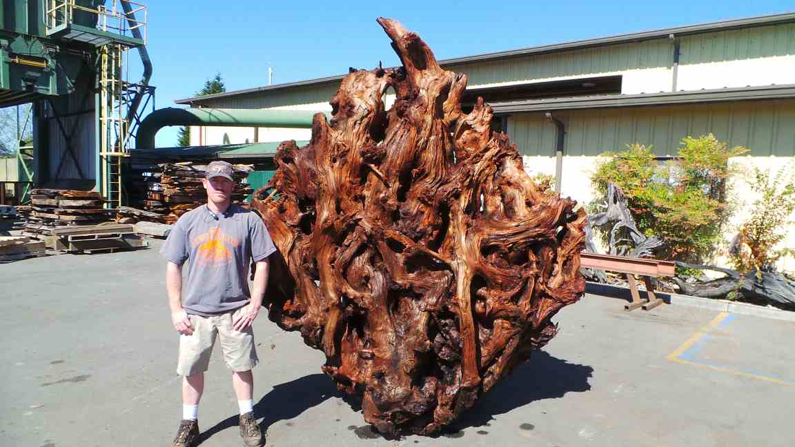 Redwood Real Tree Yard Decor - Burl Sculpture - Tree Roots Systems