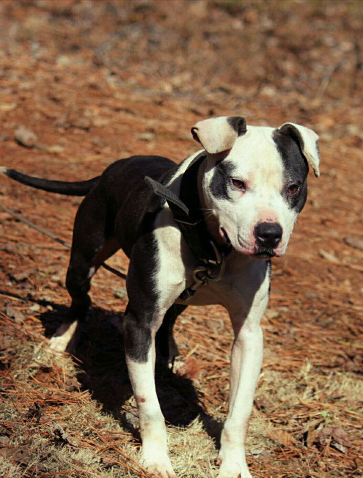Eli Pitbull Kennels : pitbull, kennels, Breeders, American, Terrier, Quality, Puppies, Field, Lines., Bloodlines, Chosen, Include, Greco's/Boogieman, Budweiser, Crusher, Boudreaux, Males
