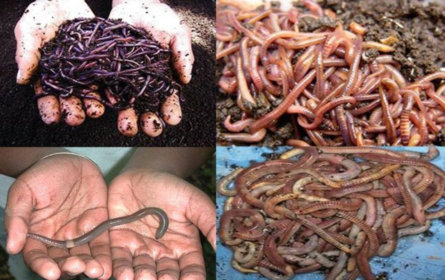 Where To Buy Earthworms