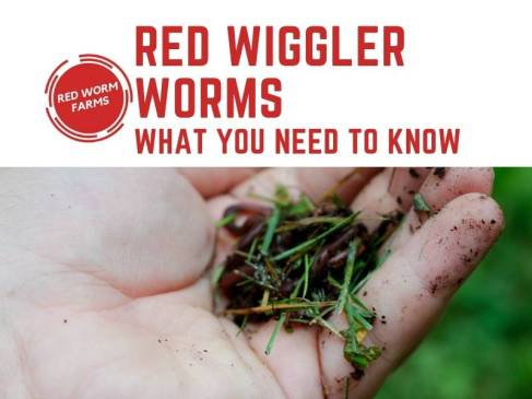 Red Wiggler Worms - Things You Need To Know redwormfarms.com