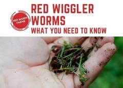 Red Wiggler Worms – Things You Need To Know