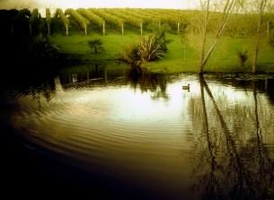 Duck on Vineyard Pond