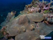 Reefbuilders Travelogue Corals Of Dominican Republic