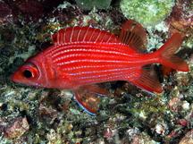 tropical reefs squirrelfishes bigeyes