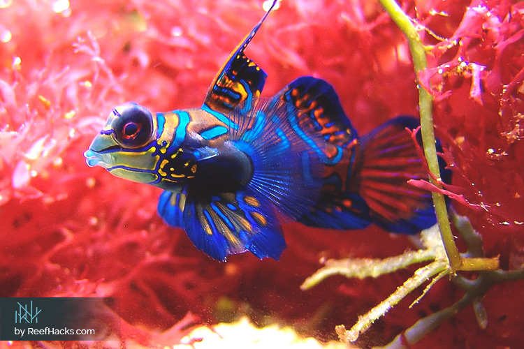 10 Tips The Ultimate Mandarin Goby Fish Care Manual With
