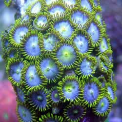 Blue Ice Zoas Frags Online