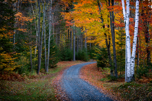 Birch Tree Fall Wallpaper Close Up Vermont Donald Reese Photography
