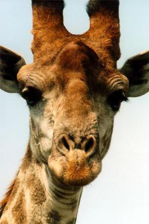 Day 295:  Giraffe-tastic Top 3
