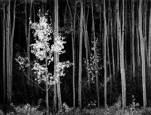 Aspens, New Mexico, 1958.