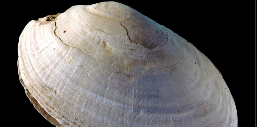 Le coquillage pseudodon avec ses gravures réalisées par des Homo Erectus. Wim Lustenhouwer, VU University Amsterdam