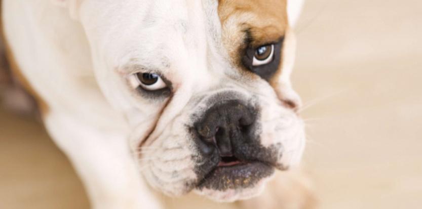 L'agressivité d'un chien peut s'expliquer par le manque d'activité de sa glande thyroïdienne. ©SUPERSTOCK/SUPERSTOCK/SIPA