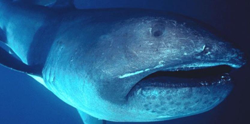 Le requin grande-gueule est une espèce rarissime. ©FLMNH Ichtyology / Wikimedia Commons