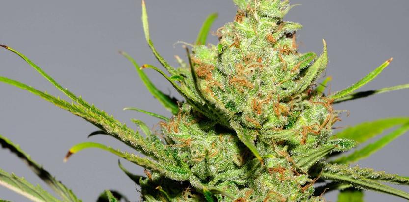 La Skunk, une variété de cannabis avec un fort taux de THC développée durant les années 1970 aux États-Unis. ©  SIPANY/SIPA