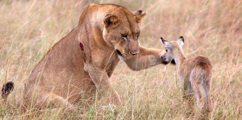 """Après avoir dévoré une mère impala, une lionne """"adopte"""" le petit qu'elle a laissé. ©CATERS NEWS AGENCY/SIPA"""