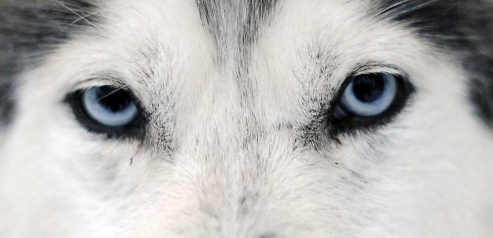 Regarder son chien dans les yeux pendant une longue période resserrerait notre lien avec lui. © Olivier Morin/AFP