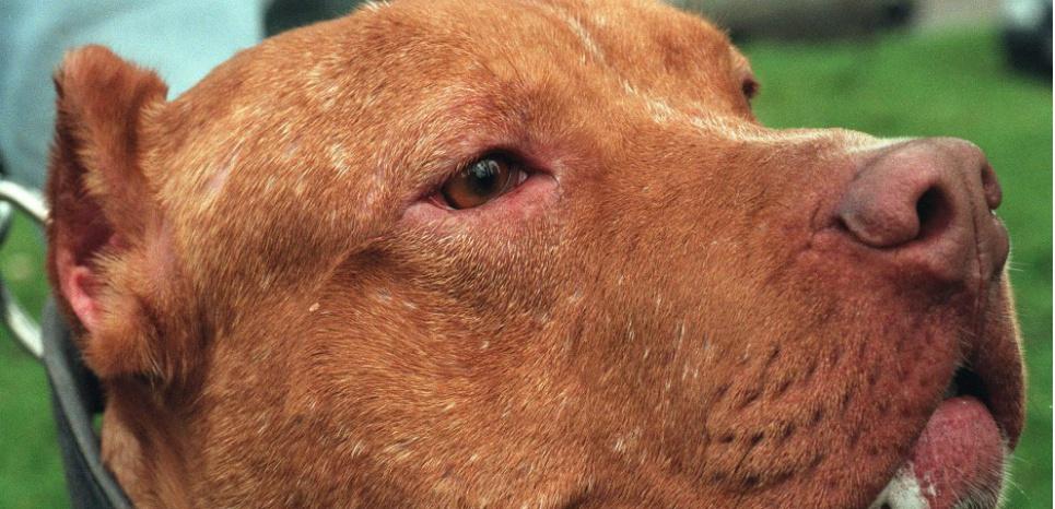 C'est la première fois qu'un cas de transmission de la peste du chien à l'homme est documenté. ©DESSONS/SIPA