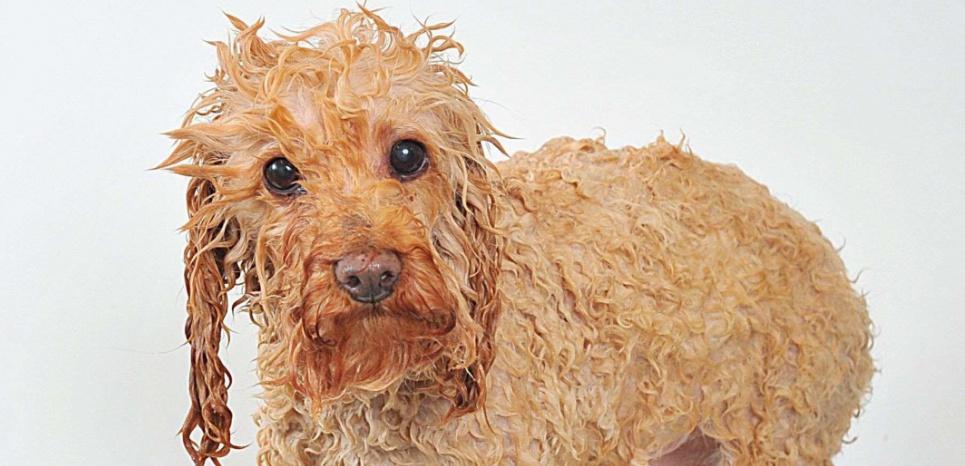 Les chiens mouillés sentent mauvais, c'est bien connu. La faute aux habitants de leur pelage. © Alex Coppel / Newspix / Rex Features