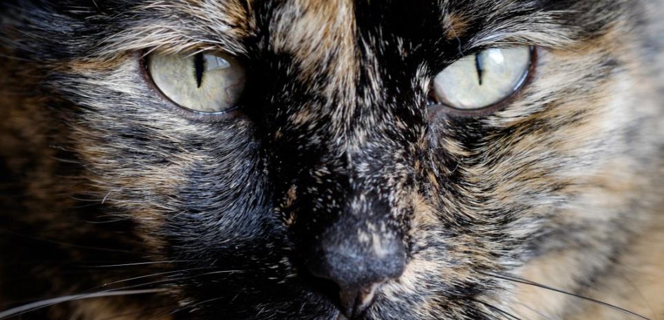 Tiffany Two était une chatte au pelage écaille de tortue - orangé et noir - comme celui illustré sur cette photo. ©Dominic Sagar / Flickr