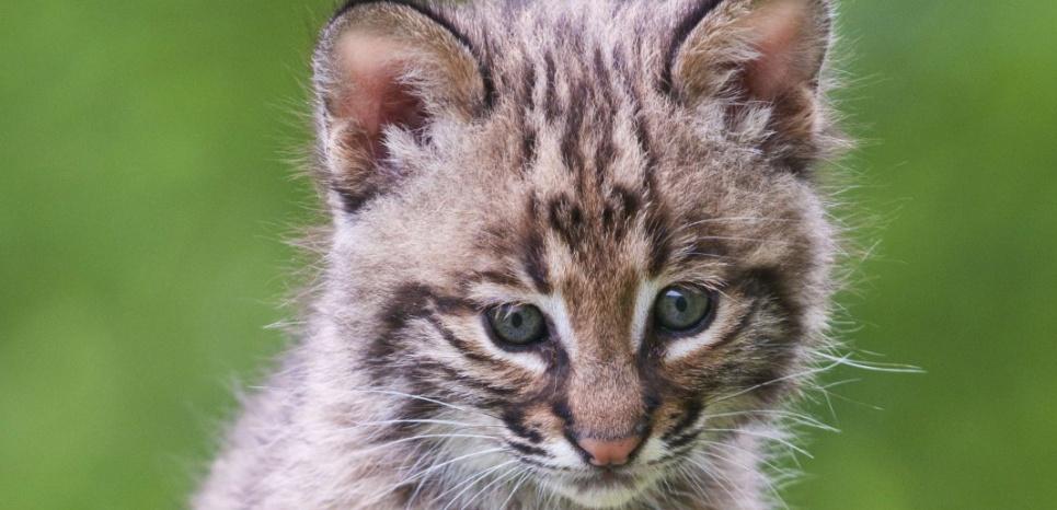 Un jeune lynx roux (Felis Rufus) © SUPERSTOCK/SUPERSTOCK/SIPA