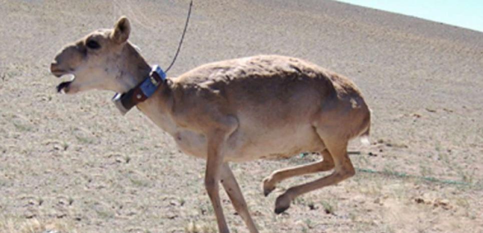 Les saïgas font partie des rares antilopes d'Asie et appartiennent à la liste des espèces menacées de l'International Union for the Conservation of Nature. © SIPA PRESS