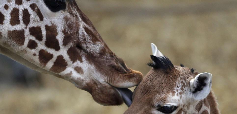 Les girafes possèdent des cordes vocales mais elles n'émettent que très rarement des sons, se reposant davantage sur la vision que sur l'audition pour communiquer via par exemple des postures et des mouvements du cou et de la tête. © SIPA PRESS