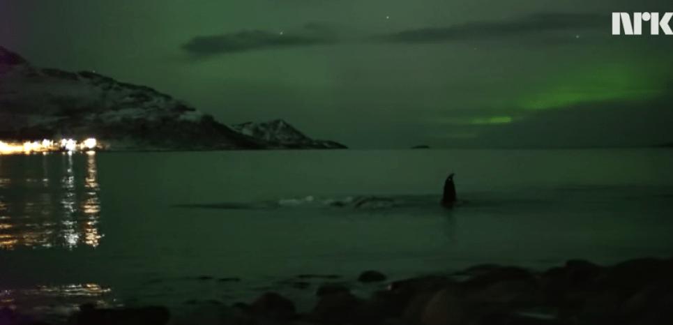 Des baleines nagent pendant que le ciel est illuminé par une aurore boréale en Norvège. © NRK / YouTube