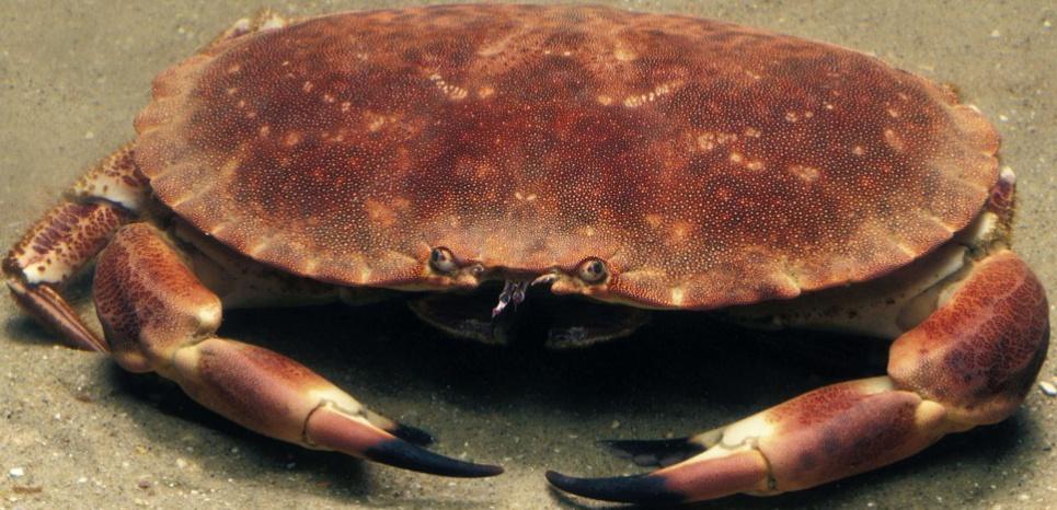 Les crabes ayant reçu une décharge électrique ont des niveau d'acide lactique, un marqueur du stress, trois fois plus élevé. ©Gerard Lacz / Rex Featu/REX/SIPA