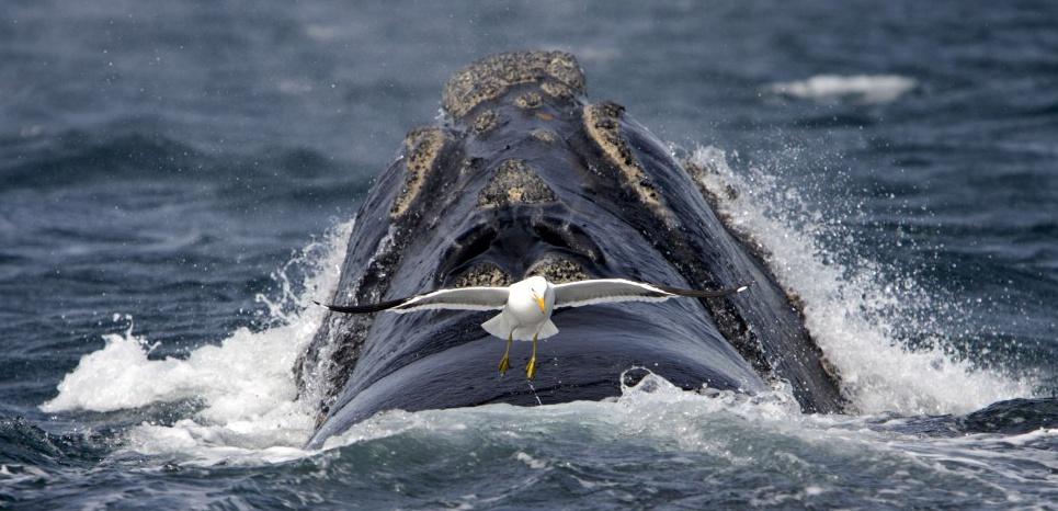 Un goéland dominicain s'approche d'une baleine franche australe pour la picorer. © SUPERSTOCK/SUPERSTOCK/SIPA