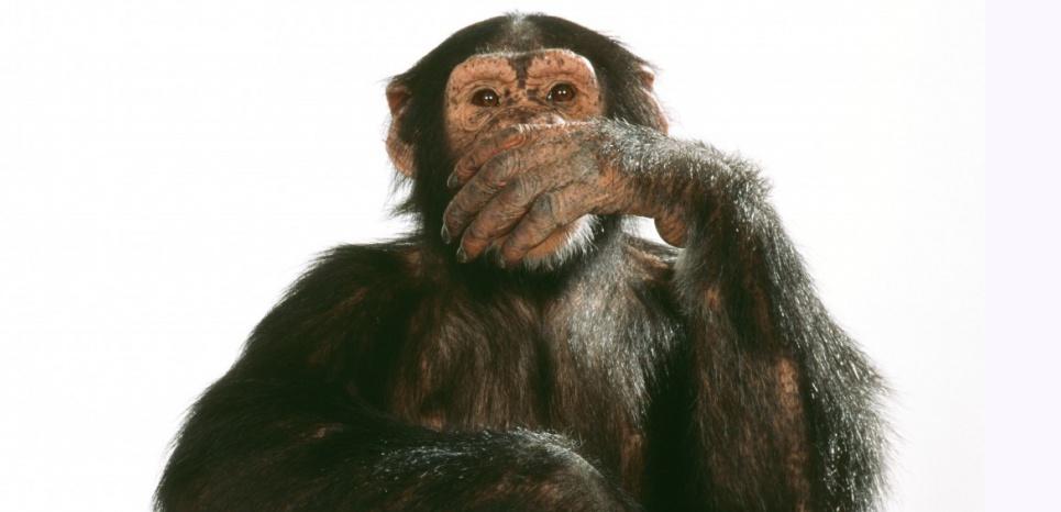 """Les chimpanzés """"hollandais"""" auraient imité l'accent de leurs cousins """"écossais"""". © ARDEA/MARY EVANS/SIPA"""