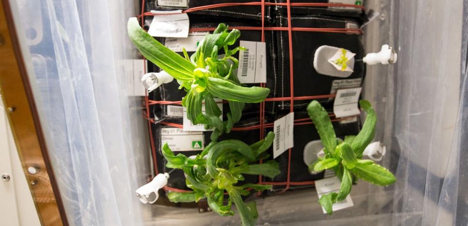 Les plants de zinnia à bord de l'ISS, photographiés le 23 décembre 2015. NASA