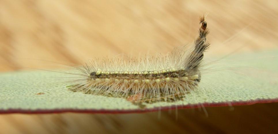 Installée sur une feuille d'eucalyptus qu'elle s'apprête à déguster, voici Uraba lugens. © Donald Hobern / CC BY 2.0